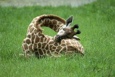 This Is How Giraffes Sleep