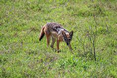 Jackal (Canis adustus) in Ngorongoro