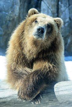 Our brown bear striking a pose!