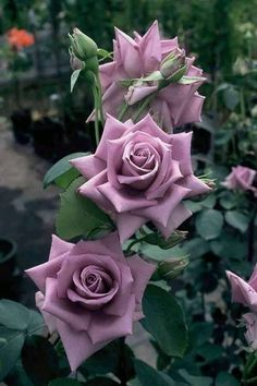 Why Rose Gardening Is So Addictive - Urban Gardening Beautiful Rose Flowers, Amazing Flowers, Beautiful Flowers, Lavender Roses, Purple Flowers, Red Roses, Lavender Blue, Lilac, Rosa Rose