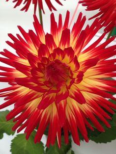 Stunning Dahlia flower from the show Summer Plants, Summer Flowers, Southport Flower Show, Stunning Summer, Dahlia Flower, Anniversary Parties, Daffodils, Nature, Bouquet