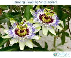 This is a guide about growing flowering vines indoors. You can grow beautiful flowering vines inside by choosing varieties that are well suited to this type of gardening.