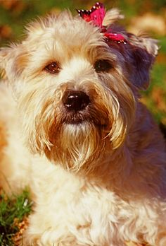 Sweet Ryley Wheaten Terrier Soft-Coated Irish Dogs Puppy Hounds Puppies