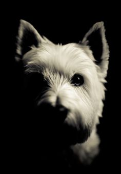 Westies Eye View by Caravela.deviantart.com on @deviantART