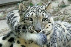 Snow Leopards Are Using Their Fluffy Tails As The Purrfect Thing To Nom-Nom On - World's largest collection of cat memes and other animals Cool Cats, Big Cats, Cats And Kittens, Cats Bus, Beautiful Cats, Animals Beautiful, Cute Animals, Cat Biting, Especie Animal
