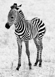 Baby Zebra IIby~justinblackphotos