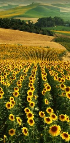 Field of sunflowers - It's on my bucket list to visit a place like this. I would be in heaven!!!!