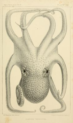 Eledone verrugosa. Pt. 2 - The cephalopods of the north-eastern coast of America / - Biodiversity Heritage Library