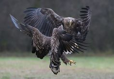 """Don't Mess With Me Mate !! - My sincere apologies, but I just have to show you some friendly White-tailed Eagles again :-)  ©<a href=""""http://www.hewaph.com"""">Harry Eggens</a>  Best wishes and have a nice day,  Harry"""