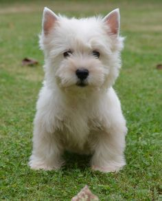 Chiots westie lof DISPONIBLES > Acheter un chiot West Highland White…