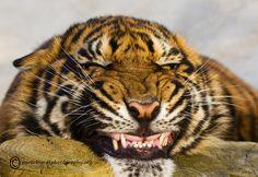 Say Cheeeeeeese!!! by bigcatphotos UK, via 500px