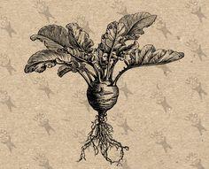 Vintage Kohlrabi Cabbage Vegetable image Instant Download printable retro picture clipart digital graphic transfer, burlap, prints etc300dpi by UnoPrint on Etsy