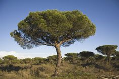Image result for pinus pinea