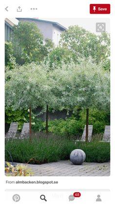 Pleached olive trees