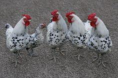 memorial day rooster run