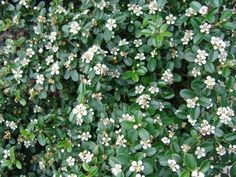 Click to view full size photo of coral beauty cotoneaster cotoneaster dammeri 39 coral beauty - Cotoneaster dammeri green carpet ...