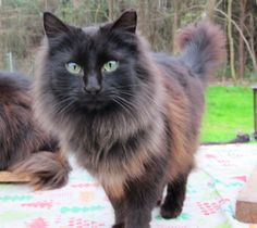 not my kitty cat but looks just like him (although most long haired black cats do look alike :-p)