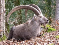 Ibex Alpine Mountainous Capra Herbivore Mammal found in the French Alps.