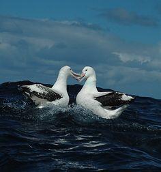 Wandering Albatross pair (Diomedea exulans)