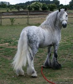 Highland Pony--love solid, chunky little ponies like this one! Most Beautiful Horses, Pretty Horses, Horse Love, Pony Breeds, Horse Breeds, Dapple Grey Horses, Highland Pony, Gypsy Horse, Majestic Horse