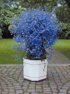LOBELIAS 'AZURO' : Une variété vigoureuse et très florifère, remarquable en pot sur la terrasse ! Sa floraison, d'un coloris exceptionnel, se renouvelle en abondance durant tout l'été ! Pour massifs et potées. Mois de floraison : de mai à octobre. Exposition : semi-ombre ; ensoleillé.