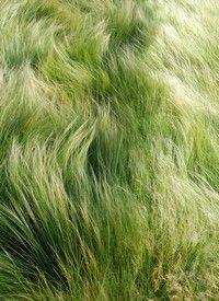 Stipa tenuissima LOVE THIS GRASS,