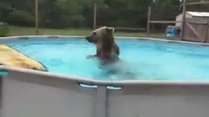 Bear Enjoys the Pool 💕 Happy Animals, Cute Funny Animals, Cute Baby Animals, Funny Cute, Animals And Pets, Wild Animals, Cute Animal Videos, Cute Animal Pictures, Animal Antics