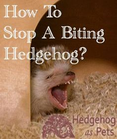 Does your hedgehog bite? Do you know how to stop a hedgehog from biting? In this post, you can find out all the reasons a hedgehog might bite and how to stop it from happening again. Hedgehog Care, Pygmy Hedgehog, Baby Hedgehog, Tortoise Cage, Baby Tortoise, Different Types Of Animals, Paws And Claws, Young Animal, Healthy Pets