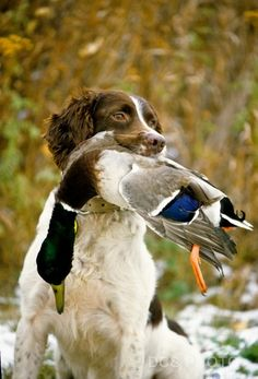 I would kill for my Springer to have the opportunity to retrieve a Mallard.