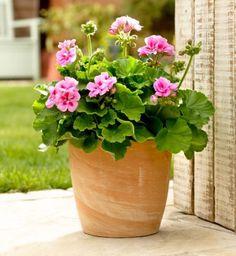 Most beautiful pink colour geranium in terra cotta