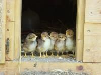 Raising Chickens 101: Collecting, Cleaning, and Storing Chicken Eggs | The Old Farmer's Almanac