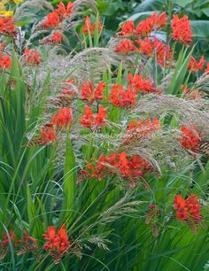 Crocosmia Lucifer in red flowering bloom amid the grassy plumes of Stipa calamagrostis ornamental grass in the garden together
