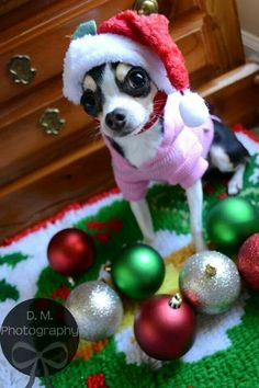 Holiday pet session. Wish my pup would sit still long enough to do this!