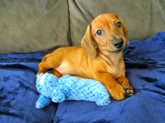 10 More Lessons I Learned from My #Wiener #Dog #dogs #pets http://www.organicauthority.com/10-more-lessons-i-learned-from-my-wiener-dog-puppy/