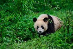Giant panda, Ailuropoda melanoleuca - Bifengxia Panda Center, Sichuan Province, China / photo by John Shaw