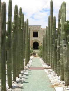 Towering cacti line a pathway to the convent in the garden's interior.