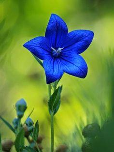 Chinese Bell-flower , Platycodon grandiflorus