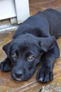 Mind Blowing Facts About Labrador Retrievers And Ideas. Amazing Facts About Labrador Retrievers And Ideas. Black Lab Puppies, Cute Puppies, Cute Dogs, Dogs And Puppies, Doggies, Corgi Puppies, Labrador Puppies, Labrador Retrievers, Black Labrador Retriever