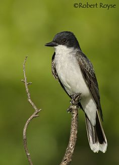 Eastern Kingbird (Tyrannus tyrannus) The genus Tyrannus is a group of large insect-eating birds in the tyrant flycatcher family Tyrannidae.