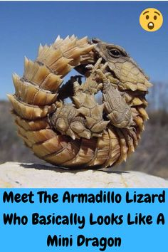 This truly unique reptile is internet famous for its uncanny resemblance to a baby dragon.