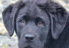 Dog Card Black Labrador Puppy Fine Art Photo Greeting Card