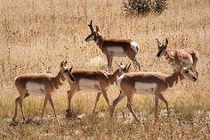 pronghorn antelope-Antilocapra americana
