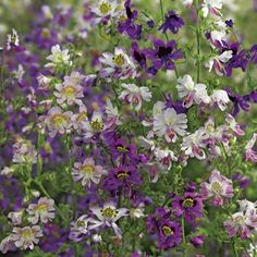 Schizanthus pinnatus Angel Wings Seeds - Suttons Seeds and Plants