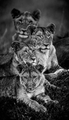 Photo en noir et blanc (n&b) d'un groupe de lionnes allongées dans la savane Masai Mara, Kenya, 2013 © Laurent Baheux