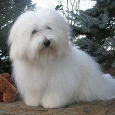 "Coton de Tulear   ""Is it a sin to be so beautiful??"""