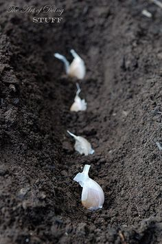 Grow Garlic From the Grocery Store.Pick out the biggest cloves for planting. The end with the flat part is the root of the garlic. Plant the cloves so they're around 4 inches apart and their tips are covered by an inch or two of dirt.Cover them up and wait.  Through the fall the clove will start to develop roots and maybe even a shoot depending on how warm your weather is.