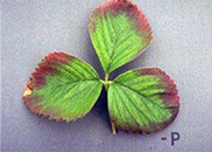 phosphorus deficiency - strawberries