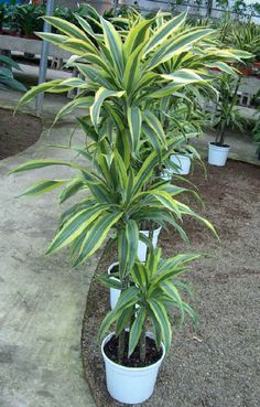 12 Houseplants That Clean The Air And Are Almost Impossible To Kill ! - Love This Pic Inside Plants, Cool Plants, Plants In Glass Bowl, Indoor Garden, Indoor Plants, Draco, Dracaena Plant, Household Plants, Plant Identification