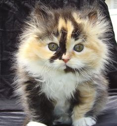 This calico kitten is a real cutie don't you think?