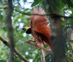 https://flic.kr/p/a3RBH4 | Raggiana Bird-of-Paradise, Varirata, PNG